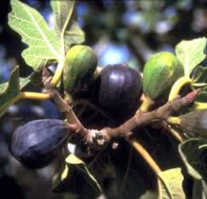 fig trees dating